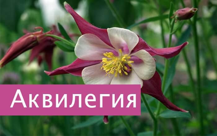 Цветок Аквигелия